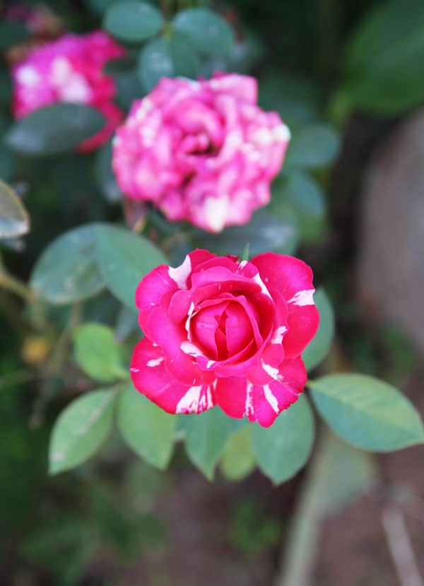 Two-tone-Rose
