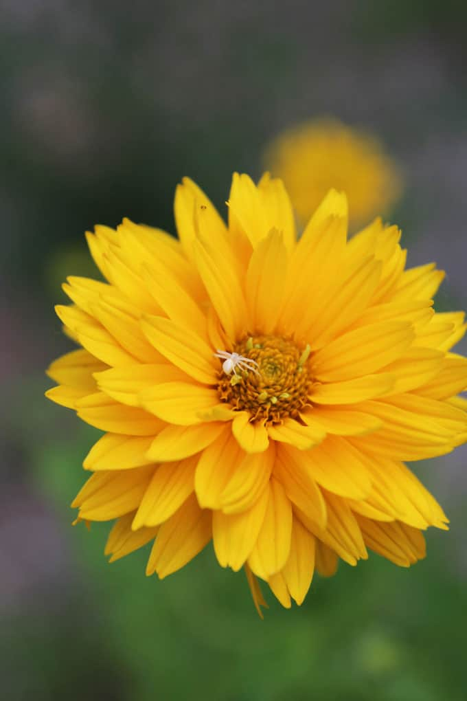 Yellow Flower with Spider