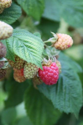 Raspberries on Bush