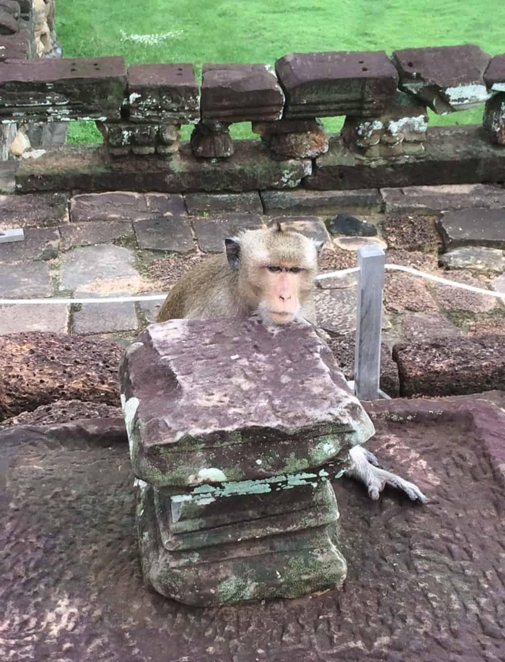 Monkey in Cambodia