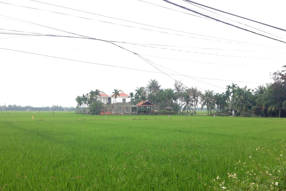 Rice Field in Hoi An